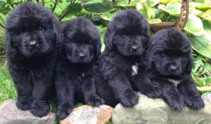 Newfoundland Puppies can cost over $3,000 to insure!