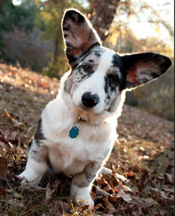 cardigan corgi - pet insurance